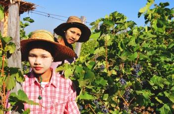 Myanmar 1st vineyard estate friends of aythaya wine altavistaventures Gallery